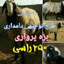 دانلود طرح توجیهی پرواربندی گوسفند 250 راسی سال 98