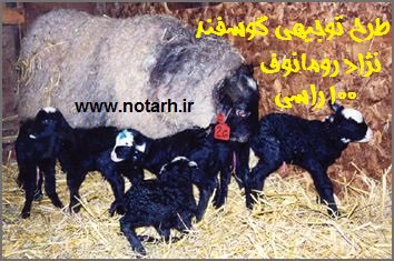 طرح توجیهی پرورش گوسفند رومانوف