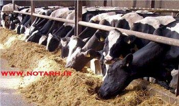 سرمایه گذاری و پرورش گوساله پرواری 1000 راسی