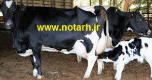 طرح توجیه ی گاو شیری 35 راسی