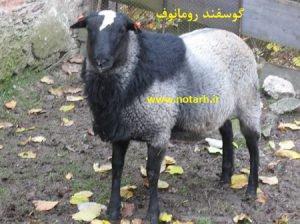 دانلود طرح توجیهی گوسفند رومانوف 1000 راسی جدید