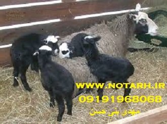طرح توجیهی گوسفند رومانوف 500 راسی
